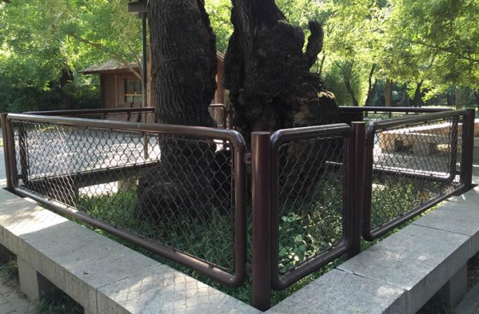 A 300 years history ancient ash tree is protected by red painting chain link fence.